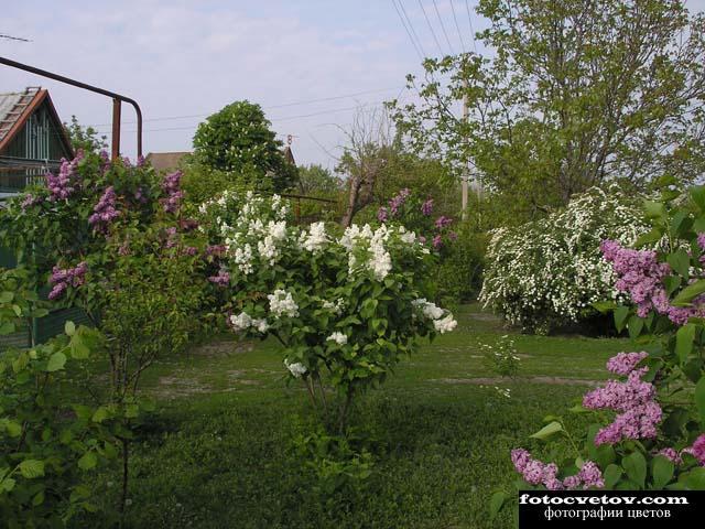 Весенний сад сирень