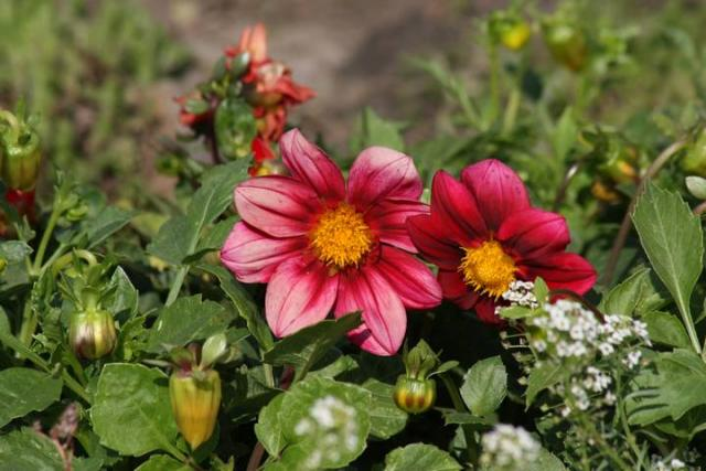Цветы женское счастье