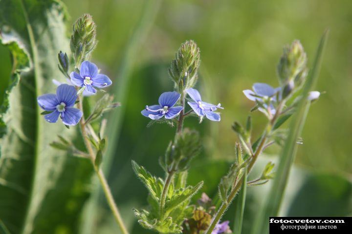 Голубые луговые цветы фото с названиями