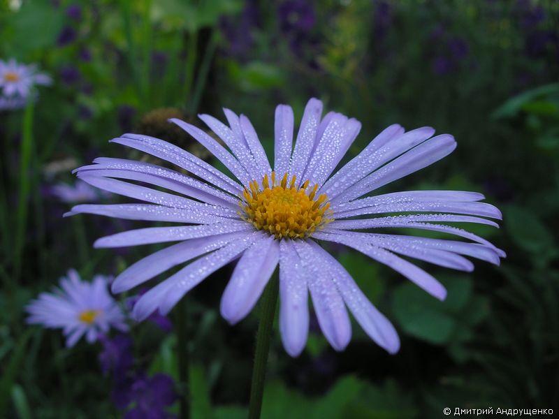 Цветок как ромашки сиреневые название