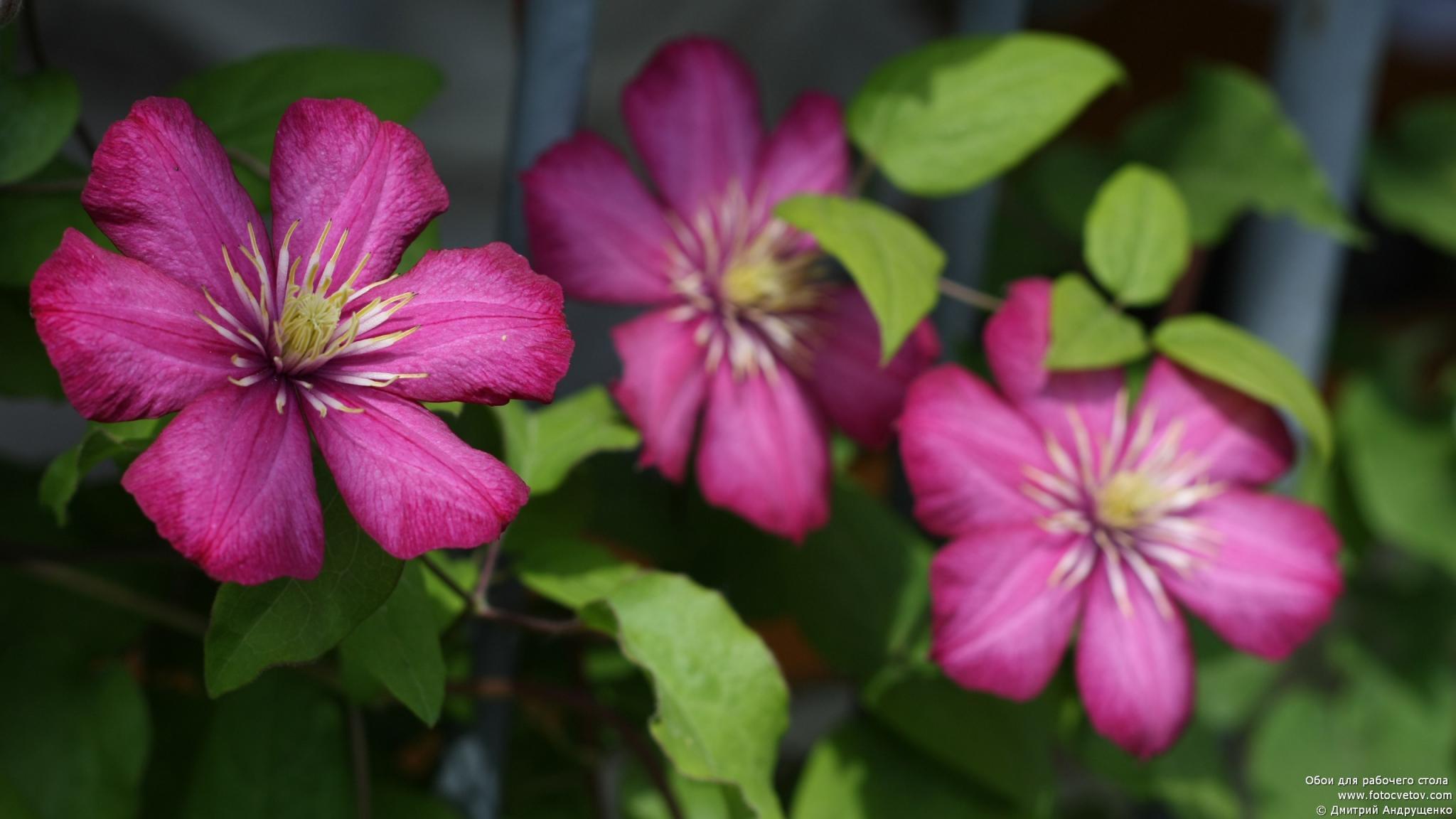 Фото мелкий цветок клематис