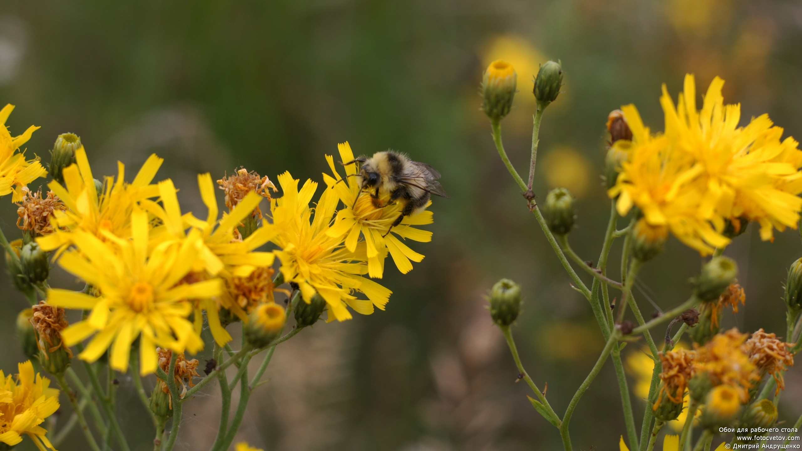 Желтые цветы луга фото и названия
